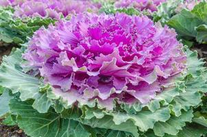 Colorful cauliflower photo