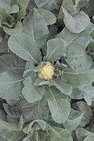 Cauliflower field, India photo
