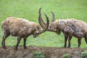 Two Male Ibex, Gran Paradiso National Park, Italy