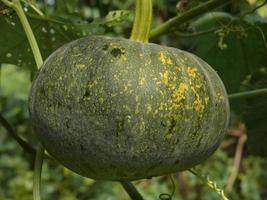 Pumpkin, Cucurbita pepo-pepo photo