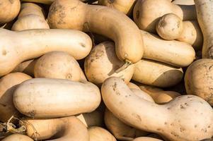 Fresh butternut squashes photo