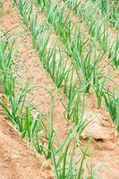 planted onions photo