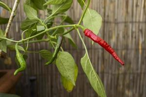 red and green chilies on a branch