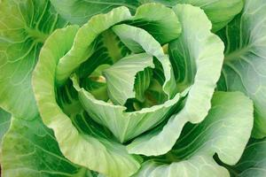 cabbages photo
