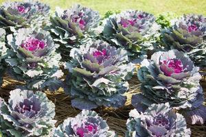 Ornamental cabbage photo