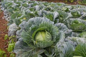 cabbage garden photo
