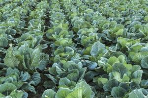 Cabbage field. photo