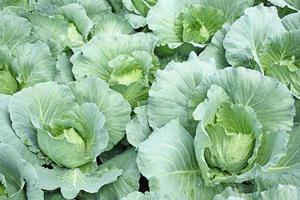 Fresh cabbage photo