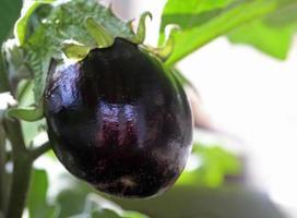 Eggplant on vine photo