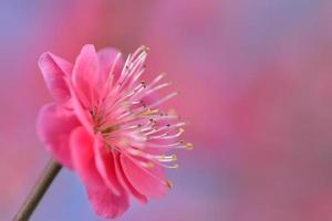 flor de ciruelo japonés foto