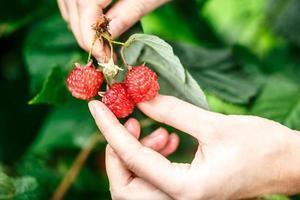 Raspberry picking