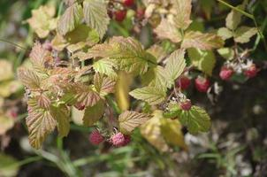 Wild raspberries photo