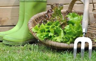 lettuce in basket photo