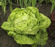 Lettuce (all the year round) growing in soil