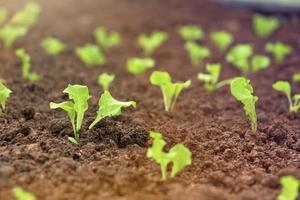 Rows of little lettuce plants on a field. photo