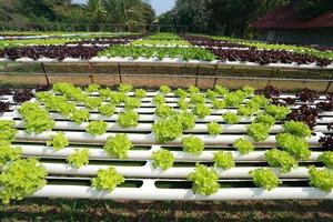 Organic Hydroponic vegetable farm 38 photo
