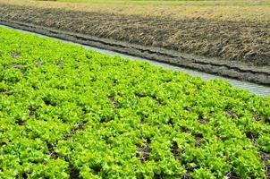 Lettuce cultivated field