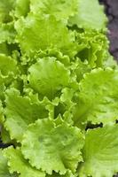 raw lettuce in the garden