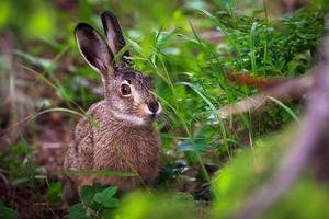 Hare in green grass photo