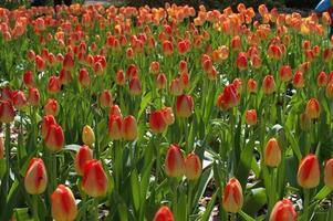 group of garden tulips in bloom