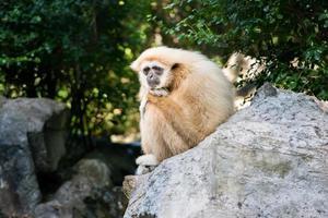 Gibbon solitario en roca