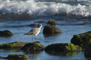 Plover on a Rock