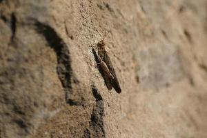 saltamontes marrón sobre roca foto