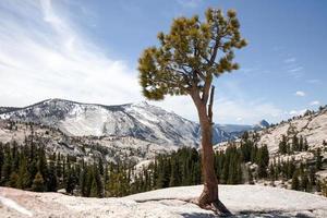Kiefer auf Felsen in Yosemite