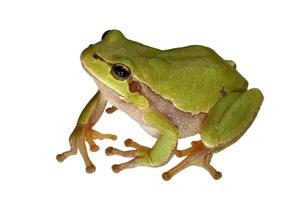 rana de árbol
