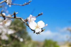 Almond tree photo