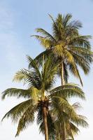 árbol de coco foto