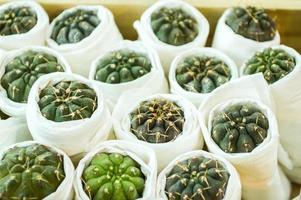 árbol de cactus