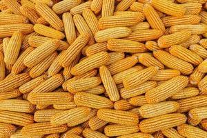 muitos da colheita de grãos de milho no outono