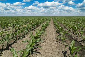 Growing corn field, green agricultural landscape