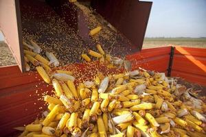 Dumping the corn cobs photo