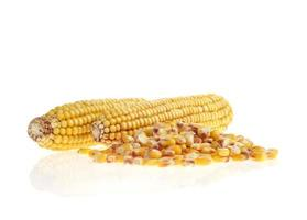 maize grains and cobs on white background photo