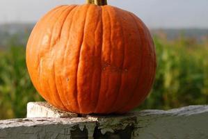 Pumpkin by corn field photo