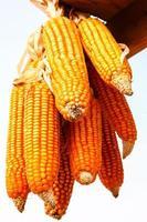 Ripe corn hang on wood photo