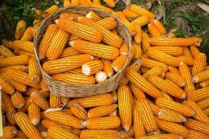 Ear corn. photo