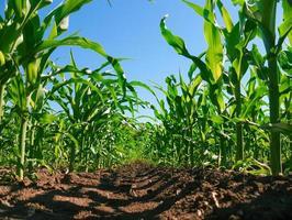 Corn plantation photo