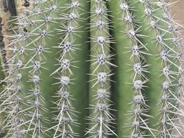 cactus de barril de cerca foto