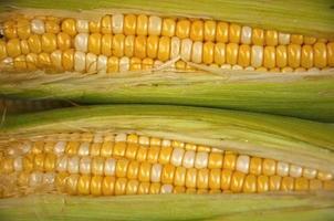 Beautiful yellow ear of corns,close up
