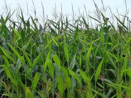 campo de maiz foto