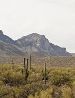 Desert Landscape - 1 cactus, sagebrush with mountains photo