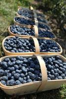 Fresh blueberries in harvest baskets photo