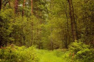 Polish summer forest photo