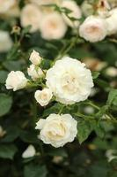 Rosa Ice Meillandecor - Rose photo