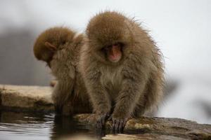 monos de nieve en Japón