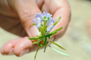 Rosemary herb in flower