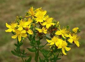 hierba de hierba de San Juan en flor foto